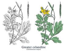 Greater Celandine. Colorful Vector Hand Drawn Plant. Vintage Medicinal Sketch