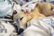 よく眠っているイタリアングレーハウンド/スヤスヤ寝ている犬/イタグレ/サイトハウンド/ペットの写真