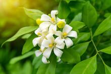 White Flower Of Andaman Satinwood, Chanese Box Tree, Cosmetic Bark Tree, Orange Jasmine, Orange Jessamine, Satin Wood (Murraya Paniculata Jack) In The Flower Garden
