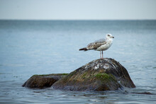 Cute White And Gray Seagull Standing On A Stone Among The Calm Ocean