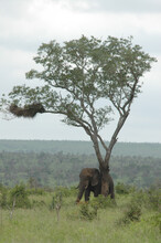 Elephant Scratching Its Back On The Tree Trunk