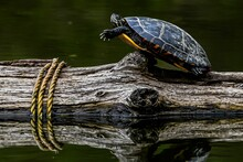 Here Is A Photo Of A Turtle In An Awkward Position Basking In The Sunshine At Richard M Nixon County Park, York County, Pennsylvania USA