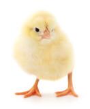 Fototapeta Zwierzęta - Small yellow chicken
