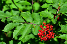 The Seeds Of The Red Elderberry (Sambucus Racemosa) Contain Hydrocyanic Acid, Leading To Cyanide, So The Seeds Must Be Removed So You Eat Them.