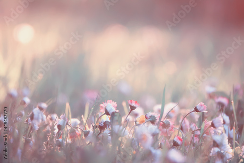 flowers daisies background summer nature, field green flowering colorful daisies