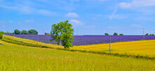 English Lavender Fields And Rolling Hills Grassland Landscape Panorama Background