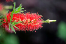 Bright And Beautiful Colors Callistemon Flowers Close Up