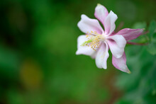 A Beautiful Red Aquilegia In Focus On A Blurred Green Leafy Background