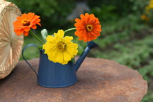 A Bouquet Of Three Bright Zinnias Stands In A Decorative Watering Can On A Rusty Surface In The Garden. Bokeh Background.