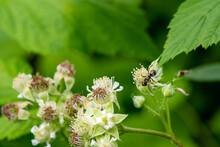 Large Black Ant On Black Raspberry Flowers