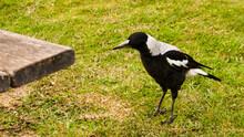 Australian Magpie, Great Ocean Road, Victoria, Australia