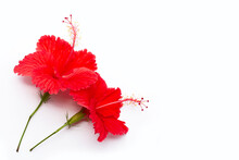 Beautiful Red Hibiscus Flower In Full Bloom On White Background.