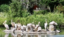 Pelicans In The Grass