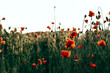 Red poppies in a field against a sunset background. Beautiful flower picture for content.