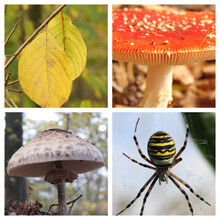 A Beautiful Four Part Collage Of Nature In Autumn, With Two Yellow Leaves, A Red Fly Agaric Mushroom A Wasp Spider And A Parasol Mushroom