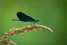 Dragonfly With Blue Wings On Green Background