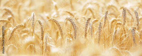 Ripening ears of rye in a field. Field of rye in a summer day. Harvesting period. Rural landscape