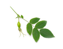 Rose Hip Branch With Leaves