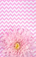 Pink Chrysanthemum On Pink Patterned Background