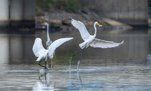 Egret Wading In Shallow Edge Of Lake Looking For Fish