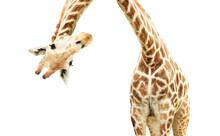 Giraffe Face Head Hanging Upside Down