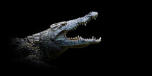 Close Crocodile Portrait On Black Background