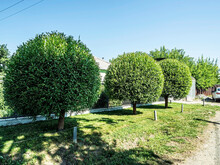 Trees Trimmed In The Shape Of Balls On A Blurred Natural Background