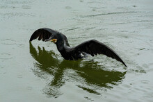 The Black Cormorant Is Swimming In The Water.