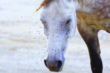 Insects Bite The Horse, Gadflies And Flies Attack The Horse Wildlife Insect Protection Farm