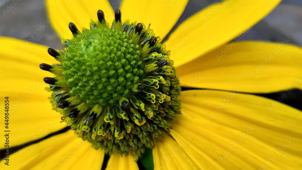 Duży, żółty wiosenny kwiat w zbliżeniu.