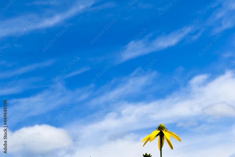 Duże, żółte, wiosenne kwiaty na tle błękitnego nieba.