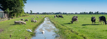 Sheep, Swans And Cows In Green Grassy Meadow With Canal Near Village In Noord Holland