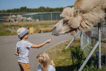 Boy In Summer Hat Feed A Camel With Carrot In Karelian Zoo