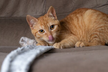 Ginger Cat Licks Nose On Couch In Living Room At Home. Pet Having Funcat