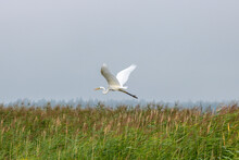 Great Egret Flying Over The Field Of Reeds Near Lake Kanieris In Latvia