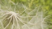 Close-up Of Western Goats-beard  Seed 4K Footage