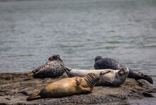 Harbor Seals Hauling On Rocks In The Damariscotta River, Maine, On A Cloudy Misty Summer Afternoon