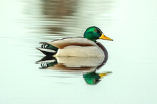 A Lone Duck Swimming In A Pond.