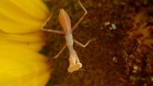 Male Praying Mantis Looking Resting On Sunflower