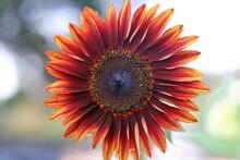 Red Sunflower Center Frame