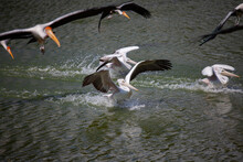 Spot-billed Pelican (Pelecanus Philippensis) Fly Down Into The Water Surface. Side View.