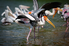 The Painted Stork (Mycteria Leucocephala) Standing And Lift Up The Wings In Pond. Close Up, Side View.