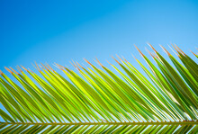 A Palm Tree Against A Blue Sky. Picture For Background And Design. Fresh Leaves On The Tree.