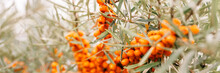 A Branch Of Orange Sea Buckthorn Berries Close Up. A Lot Of Useful Berries Of Sea-buckthorn On A Bush With Green Leaves. The Berry From Which The Oil Is Made. Defocused Or Small Depth Of Field. Banner