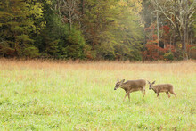 White Tail Deer Cades Cove Great Smoky Mountains National Park Tennessee