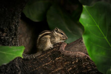 Close-up Of An Indian Palm Squirrel Sitting On The Branch Of A Wild Almond Tree, Surrounded By Leaves