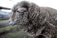Side View Of Wooly Sheep's Head