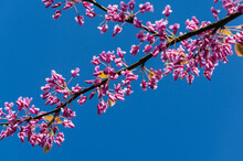 Eastern Redbud, Or Eastern Redbud Cercis Canadensis Purple Spring Blossom. Close-up Of Judas Tree Pink Flowers On Blye Sky Background. Selective Focus. Nature Concept For Design. Place For Your Text