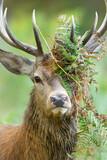 Fototapeta Kawa jest smaczna - Portrait of a red deer stag with bracken on antlers