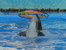 Trained Bottlenose Dolphin Head With Colored Rings In Clear Blue Water Close-up, Marine Mammals Animals Entertainment In Circus